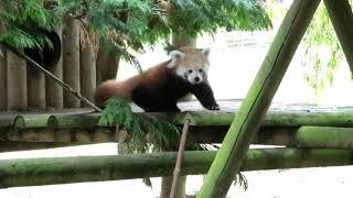 ヨークシャーの動物園でレッサーパンダの赤ちゃんが生まれたよ!