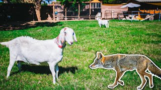 (caught on camera) COYOTE in our backyard - did our GOAT defend the herd?! 😲