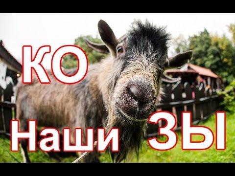 Наши козы. Альпийская коза и Чешский козел. Переезд в деревню.