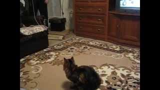 Норвежская лесная кошечка (Norwegian Forest Cat)