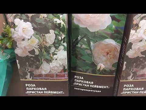 Цены на саженцы роз. Ашан. Москва. Март 2018.