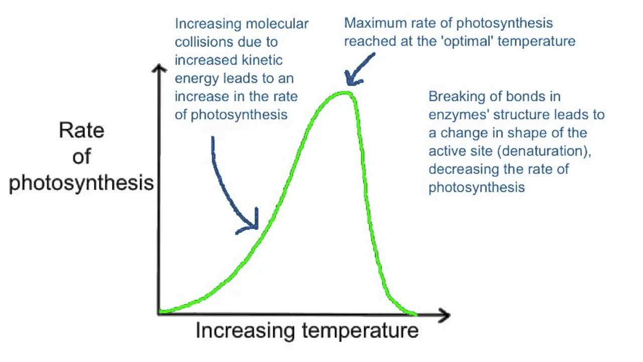 factors limiting photosynthesis Rate of photosynthesis: limiting factors limiting factors the main factors affecting rate of photosynthesis are light intensity, carbon dioxide concentration and.