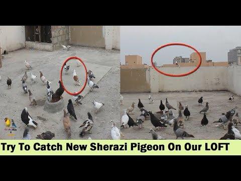 Lal Sherazi Kabootar Utra Chaht Par - Try To Catch Sherazi