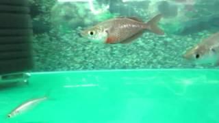 видео Черноморская атерина