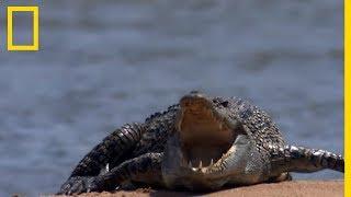 Requin-bouledogue vs crocodile