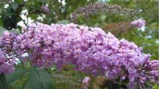 Butterfly Bush - Buddleja davidii - Fiðrildarunni - Skrautrunni  - Garðskálaplanta