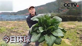 日本菜农收获巨型油菜 是普通油菜的200倍 |《今日环球》CCTV中文国际 - YouTube