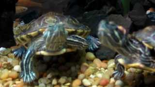 "Sick (ill) ""Red Ear Slider Turtles"", Chipmunk Cheeks possible ""ear abscesses"""