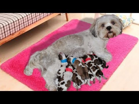 Long-haired Lhasa Apsos dog giving birth to cute puppies
