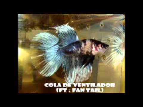 Tipos de peces bettas youtube for Tipos de peces ornamentales