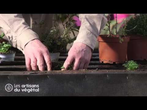Comment et quand planter du thym persil basilic ment doovi - Comment semer du persil ...