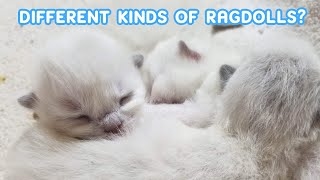 DIFFERENT COLORS AND PATTERNS OF RAGDOLL CATS / Guess which we will have! / Animal Cuteness Overload