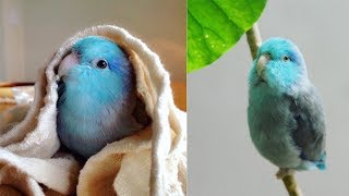 This Cute little Parrot is too cute | Cute blue parrot videos