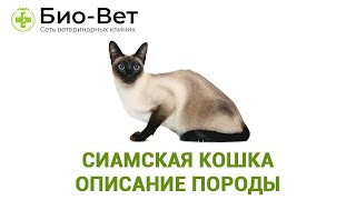 Сиамская Кошка  Описание Породы  Характер & Уход За Сиамской Кошкой.  Ветклиника Био-Вет