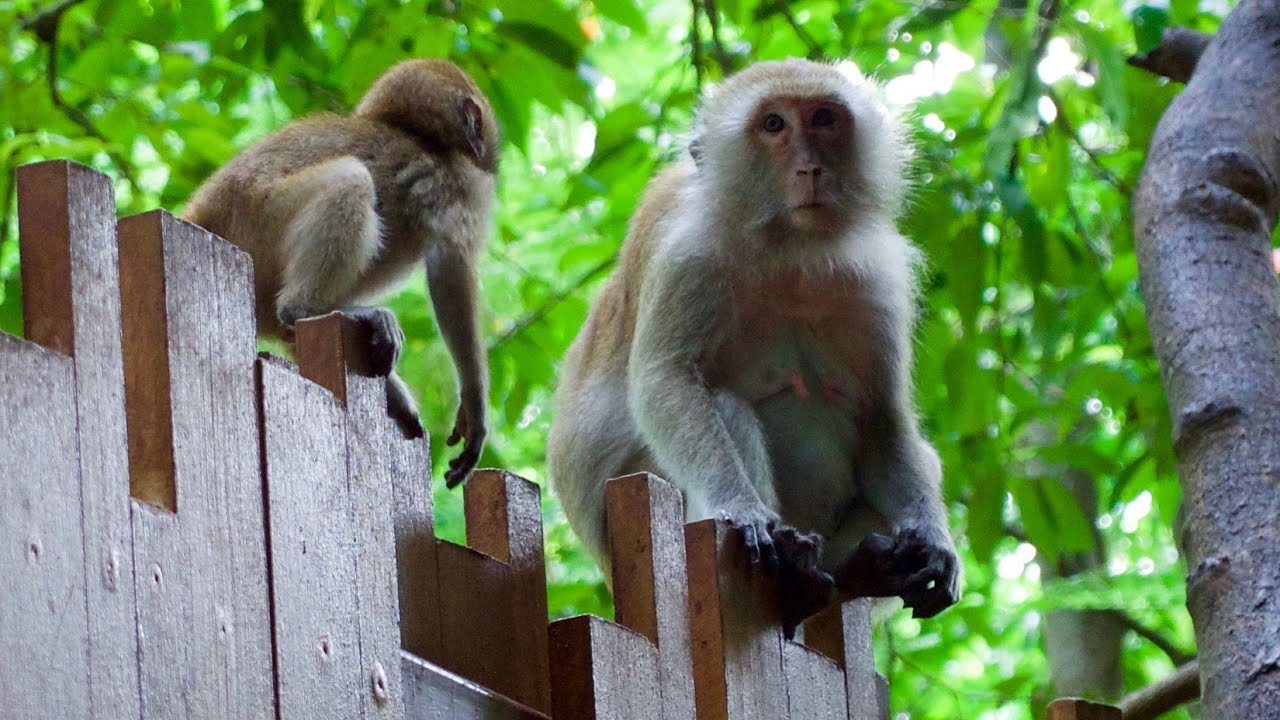 Thailand Monkeys At Railay Beach And The Tiger Cave Temple 4k