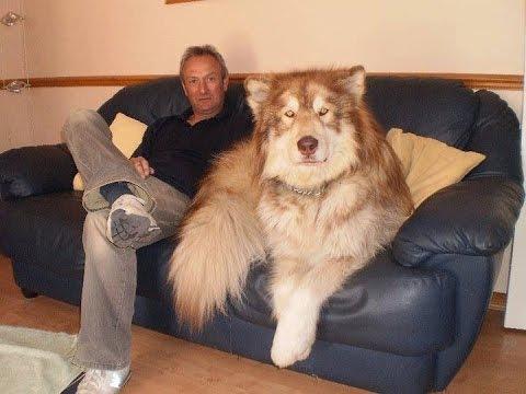 mastiff husky mix