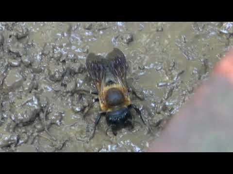 Sculptured Resin Bee (Megachile sculpturalis) Gathering Mud for nest, Alexandria, Va, July 12, 2019
