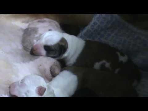 американский стаффтерьер Бахида со своими новорожденными щенками.
