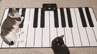 Cats Learn How To Play The Piano