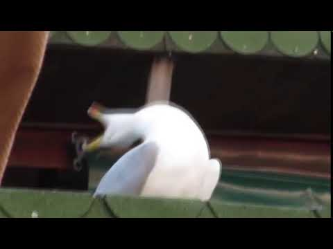 A seagull's longest yeah boi ever