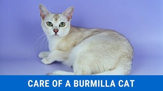 How to take care of a Burmilla cat updated 2021
