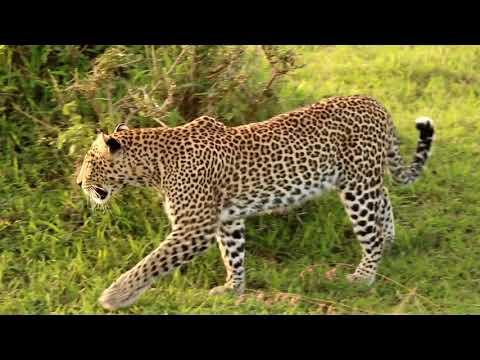Wild animal - Leopard video