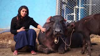 Mia: the buffalo that escaped slaughter!