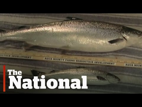 Genetically-modified salmon approved by FDA