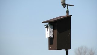 How to Use Hironbec Pendulums to Protect Nesting Tree Swallows from House Sparrows