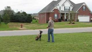 Nashville Dog Training With Belgian Malinois Puppy (pak Masters)