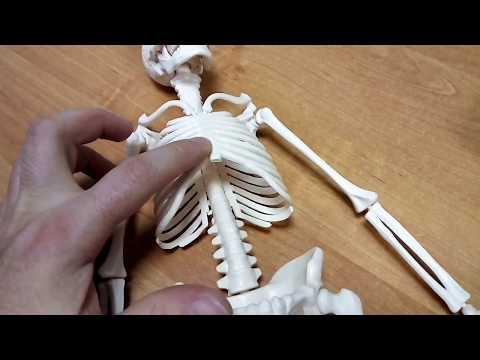 Как собрать скелет человека
