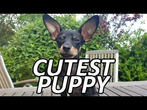 Giving My Puppy Some Treats! Russian Toy Terrier!