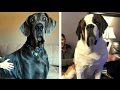 Top 10 Giant Dog Breeds