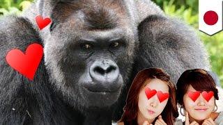 Les Japonaises craquent pour un gorille sexy au zoo d'Higashiyama