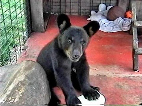 Chubs the BLACK BEAR CUB