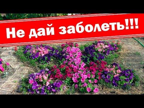 Не дайте петунии заболеть. Мучнистая роса убивает | скручивание | выращивание | вырастить | башмакова | петунией | татьяна | петуния | петунию | петуний | петунии