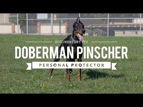 DOBERMAN PINSCHERS ARE GREAT PERSONAL PROTECTORS