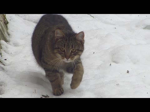 Cat walk on snow to food but afraid of me