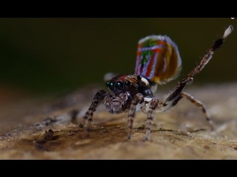 Spider Dances For His Life!! - Life Story - BBC