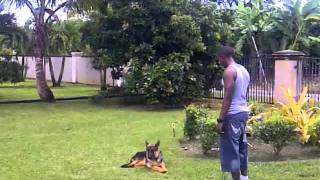 Dog Training, Miami K9 Enforcement  Antonio And Boosie