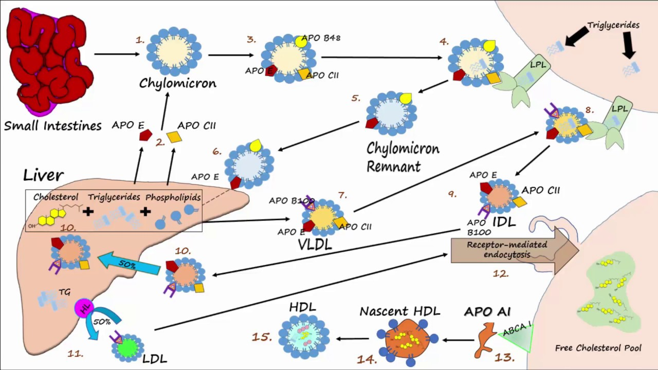 Lipid Lipoprotein Processing Part 3 Formation Of Ldl And Hdl Youtube