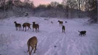 6 Rhodesian Ridgebacks, 3 German Pinschers And 1 Mini Schnautzer In The Snow