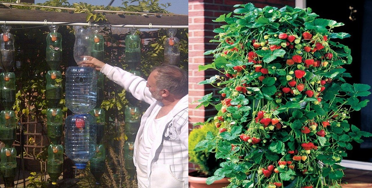 Macetas Para Fresas Great Idea To Grow Strawberries In A Plastic Bottle In The Form Of A Pyramid