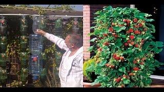Idea genial para  cultivar fresas en botella de plástico en forma de pirámide thumbnail