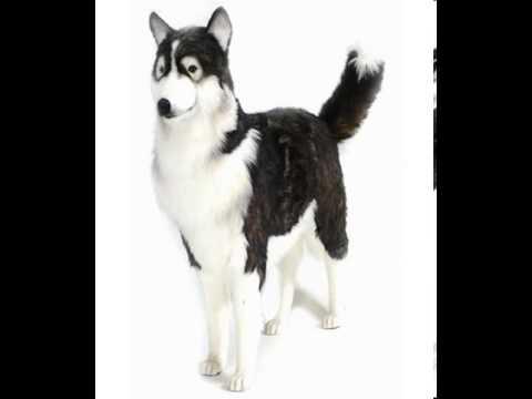 Life Size Siberian Husky Stuffed Animal Youtube