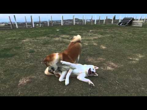 Akita Inu (秋田犬) Dog and Puppy Socialization and Playing