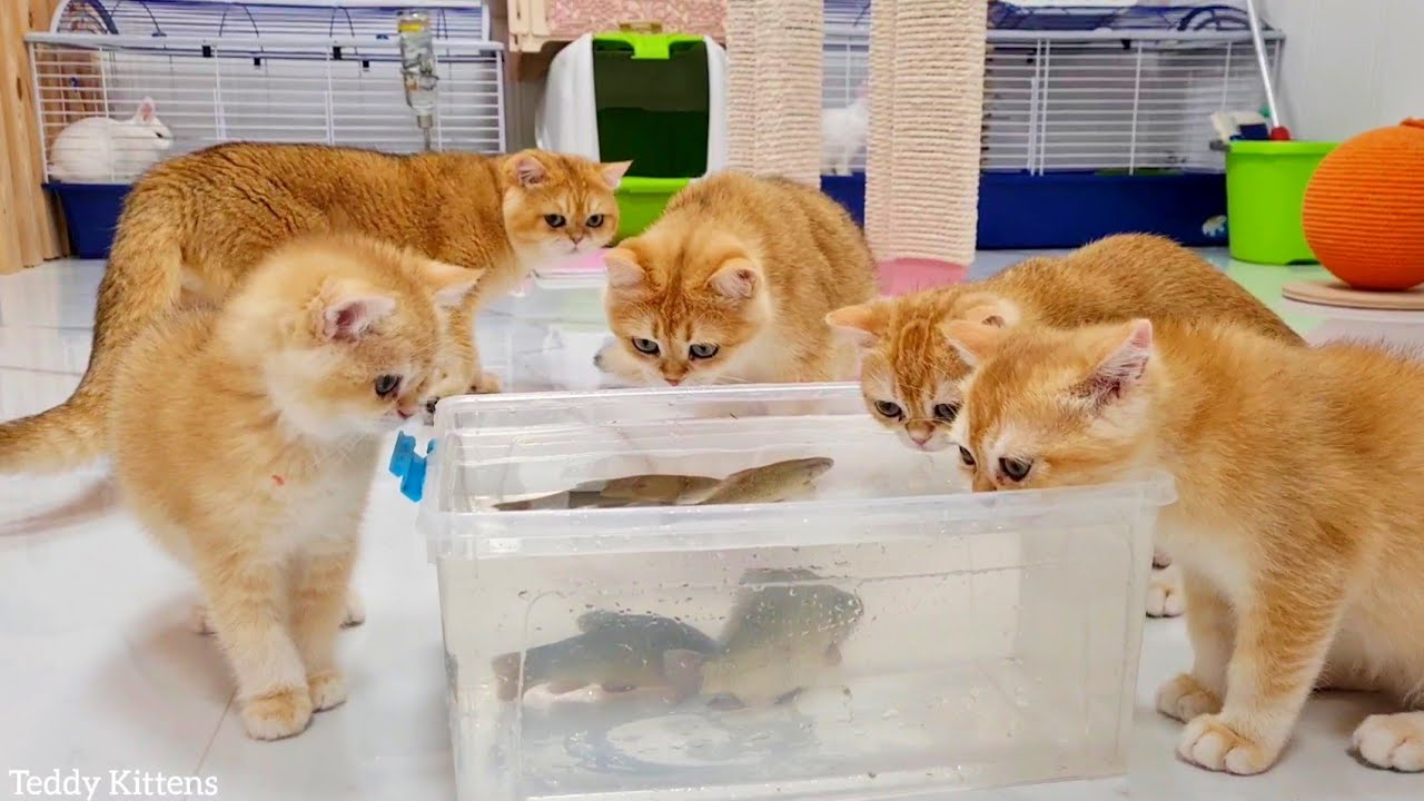 Kittens' reaction to LIVE FISH 🐟 | Cat Akai and his kittens