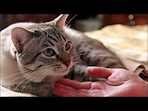 Вопрос: Почему кастрированные коты тоже орут?