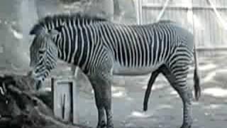 A very happy Zebra (非常快樂的斑馬), Holy Cow!! ooops, I mean.... Holy Zebra!