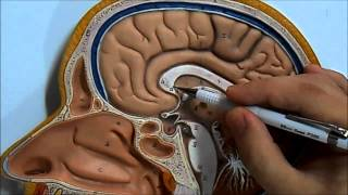 Vídeo aula do Sistema Neurossensorial - Encéfalo  (vista medial)